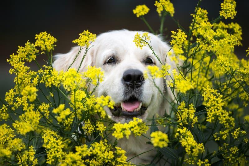 Fin de chien de golden retriever vers le haut de portrait en fleurs jaunes photographie stock libre de droits