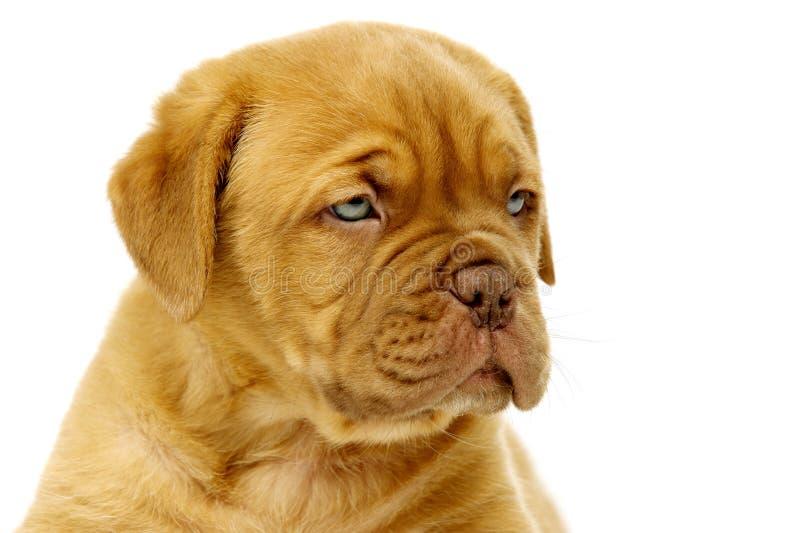 Fin de Dogue De Boudeux Puppy d'isolement sur un fond blanc images stock