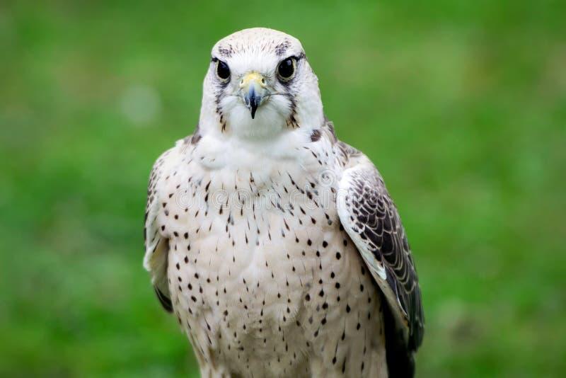 Fin de faucon de Lanner  photo libre de droits