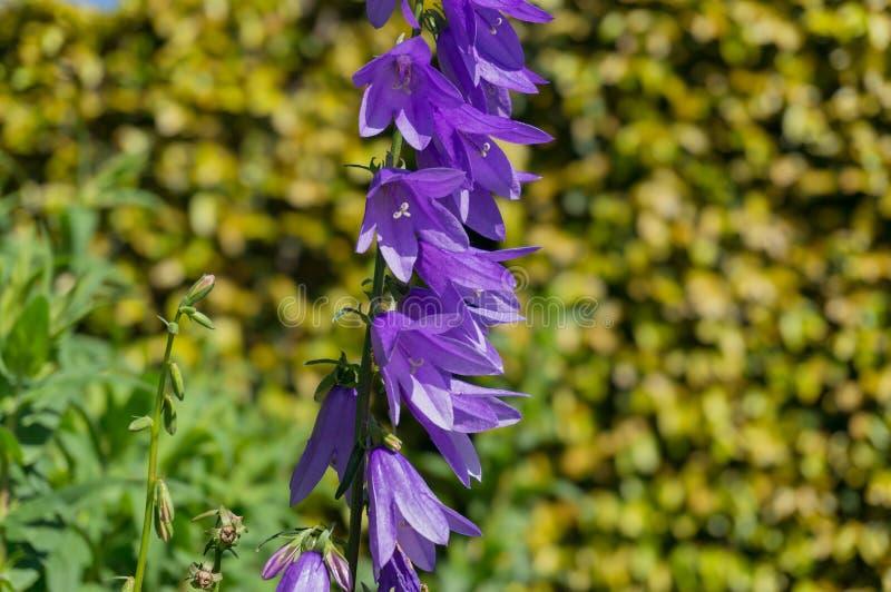 Fin de fleur de Bluebell vers le haut Fleurs de ressort à l'arrière-plan de jardin images libres de droits