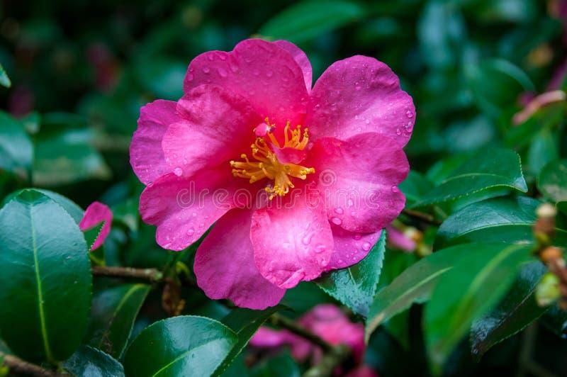Fin de fleur de camélia de rose de rose  images stock