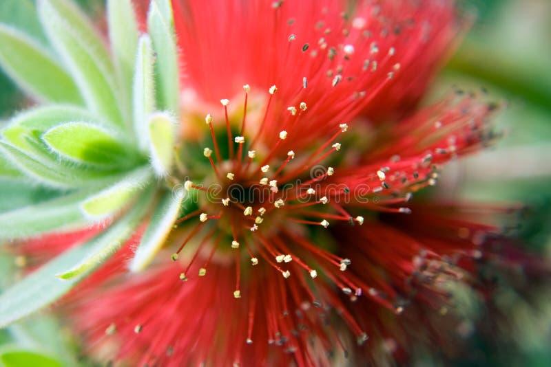 Fin de fleur de Bottlebrush images stock