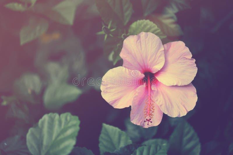 Fin de fleur de ketmie de vintage  photos stock