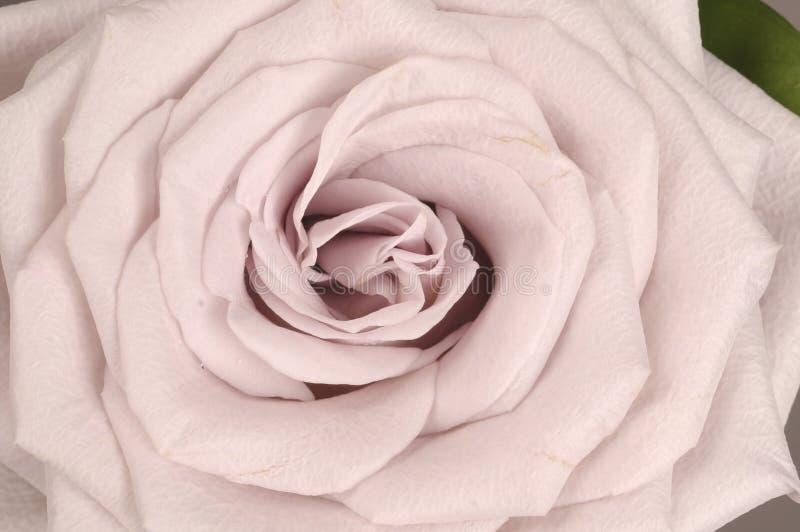 Fin de fleur de Rose  image libre de droits