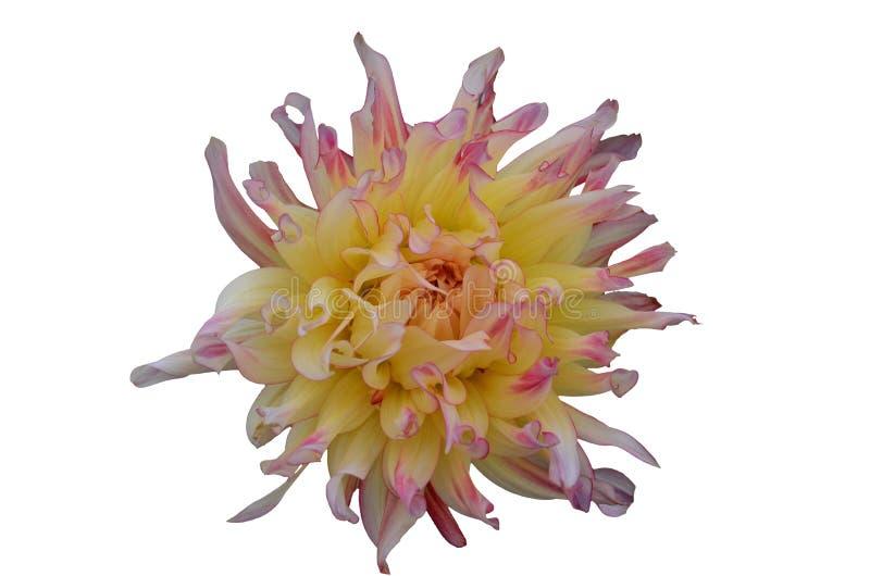 Fin de fleur de Gergina vers le haut d'isolat sur le fond blanc photographie stock