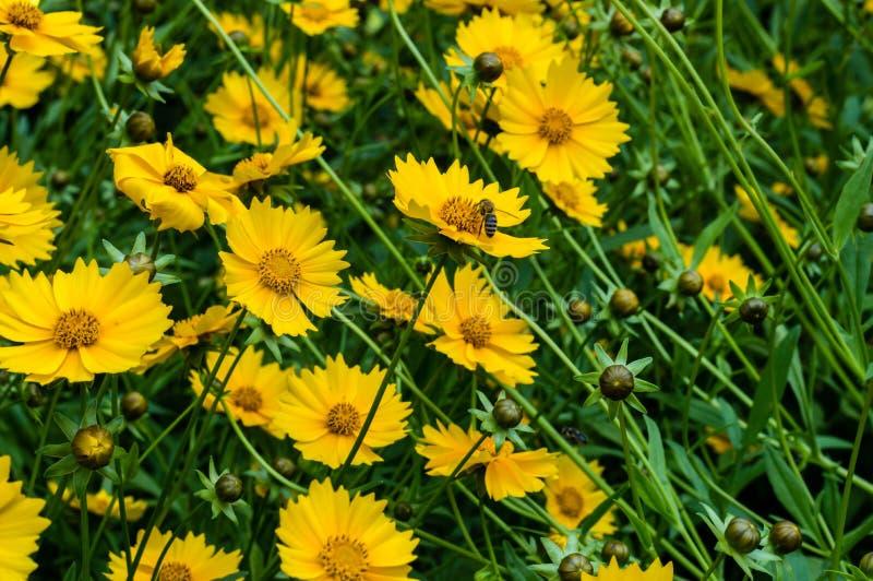 Fin de fleur tickseed par étoile vers le haut de phootography image libre de droits