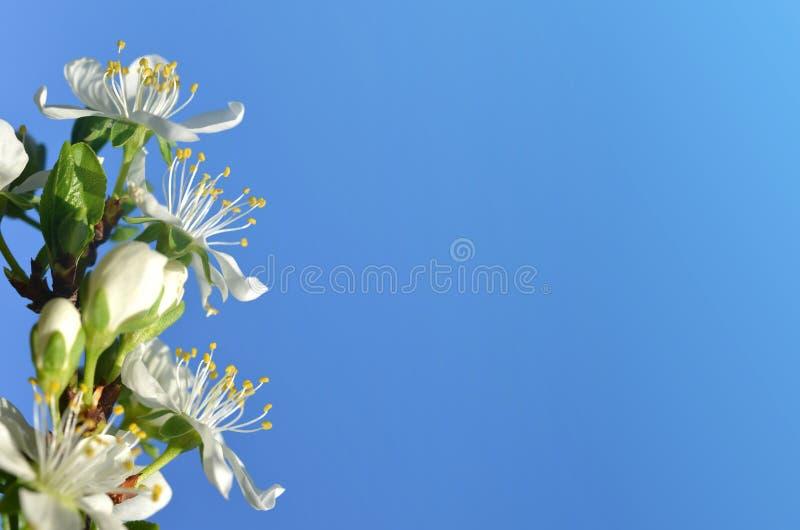 Fin de floraison de prunier  Embranchez-vous avec les fleurs blanches sur le ciel bleu photographie stock libre de droits