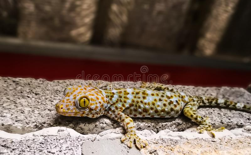 Fin de gecko de Tokay vers le haut photographie stock libre de droits