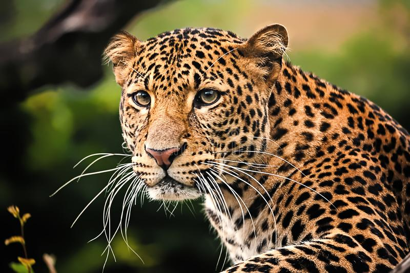 Fin de léopard de Javan  image stock