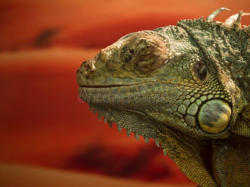 Fin de lézard d'iguane  Reptile sur un fond orange photographie stock