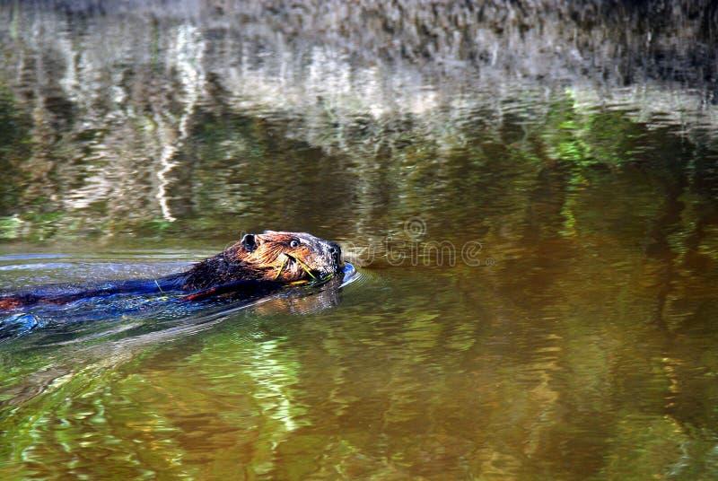 Fin de l'Alaska d'une natation de castor avec un membre dans sa bouche photos stock