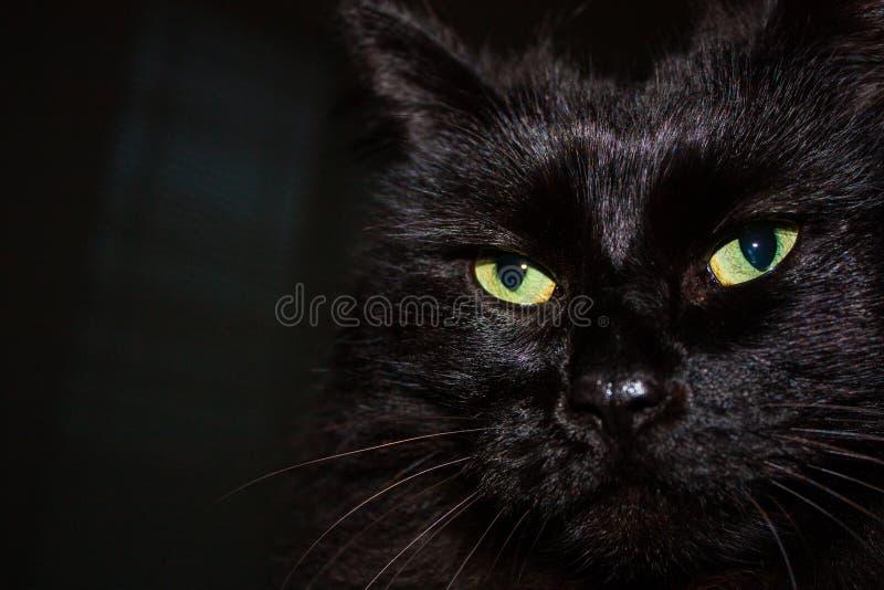 Fin de l'Himalaya noire de visage de chat  images libres de droits