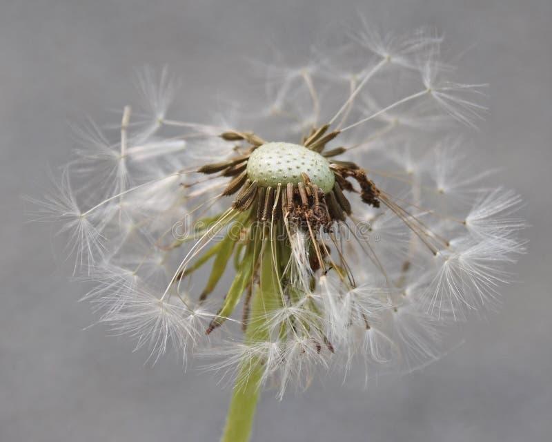 Fin de la fleur de pissenlit après qu'elle soit allée semer photos stock