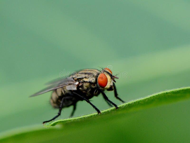 Fin de macro d'insecte  photos libres de droits