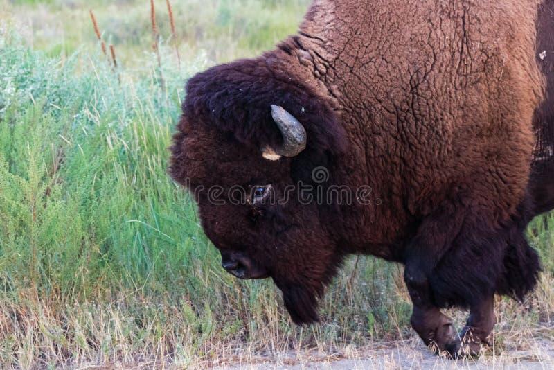 Fin de marche de bison américain par avec le sabot augmenté photo stock