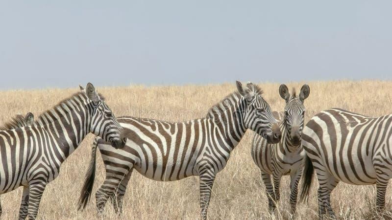 Fin de midi d'un troupeau de zèbre dans le masai Mara images libres de droits