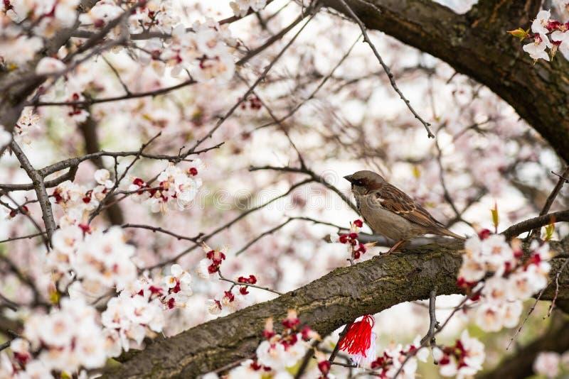 Fin de nature de ressort de branche d'abricot de moineau  photographie stock libre de droits