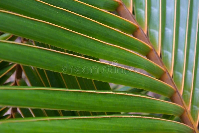Fin de palmette de noix de coco vers le haut de fond photos libres de droits