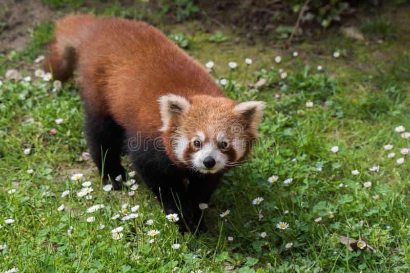 Fin de panda rouge vers le haut de portrait images libres de droits