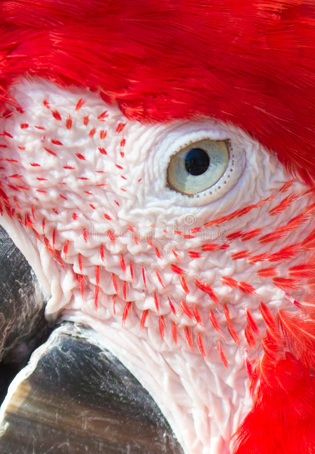 Fin de perroquet d'ara d'écarlate vers le haut des détails photographie stock