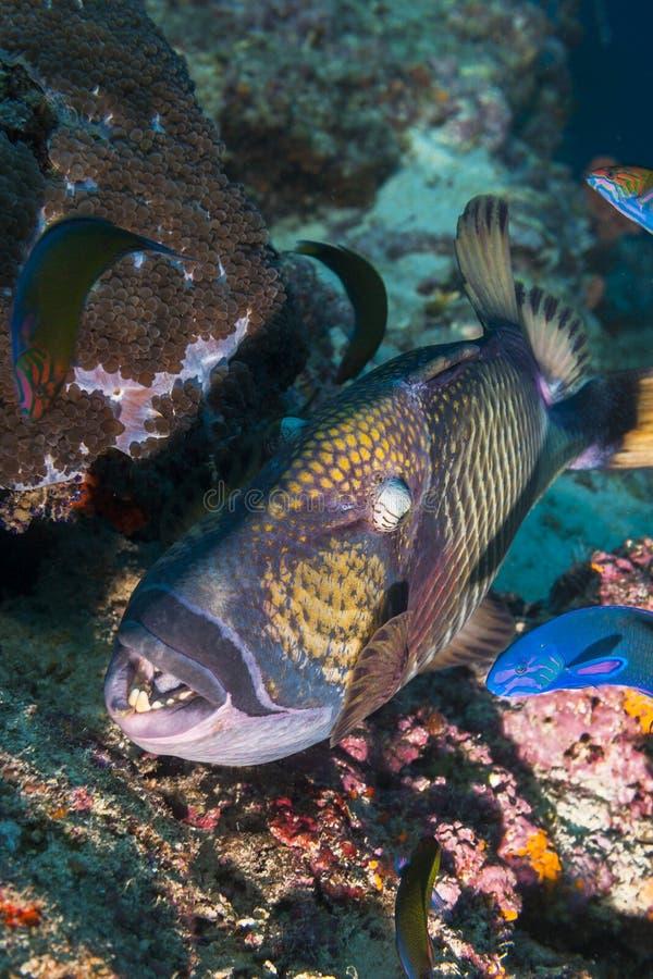 Fin de poissons de déclencheur  photographie stock