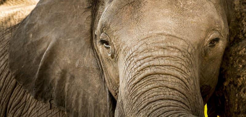 Download Fin de portrait d'éléphant image stock. Image du animaux - 77153873