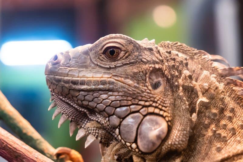 Fin de portrait d'iguane vers le haut du tir principal photo libre de droits
