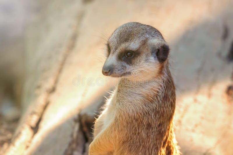 Fin de portrait de Meerkat vers le haut de suricatta de Suricata photos stock