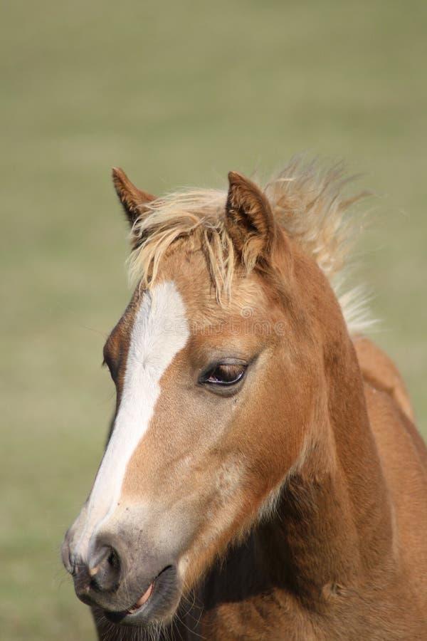 Fin de poulain de poney de gallois  photo stock