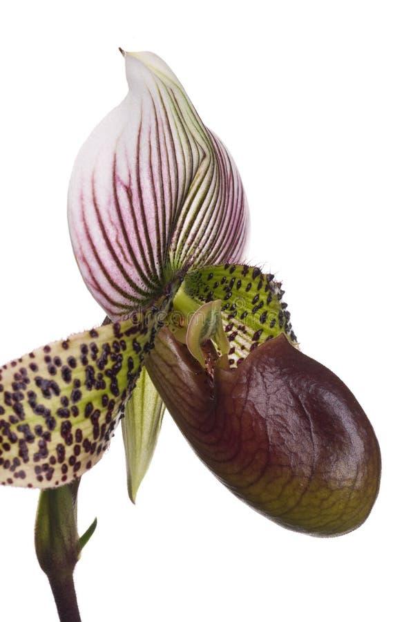 Fin de profil d'orchidée de chausson de Madame photographie stock