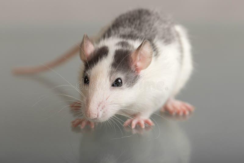 Fin de rat de bébé  photos libres de droits