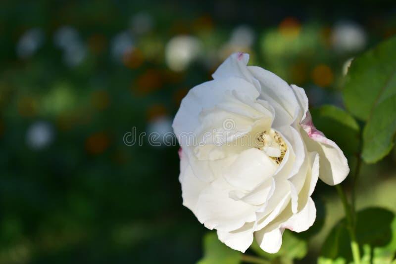 Fin de rose de blanc dans le jardin urbain Fleurs blanches et oranges à l'arrière-plan photos libres de droits