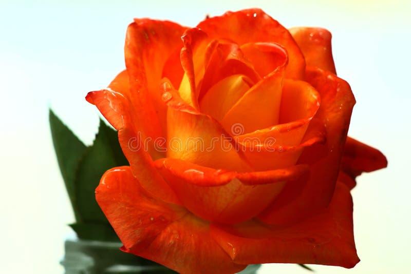 Fin de rose d'orange vers le haut photos stock