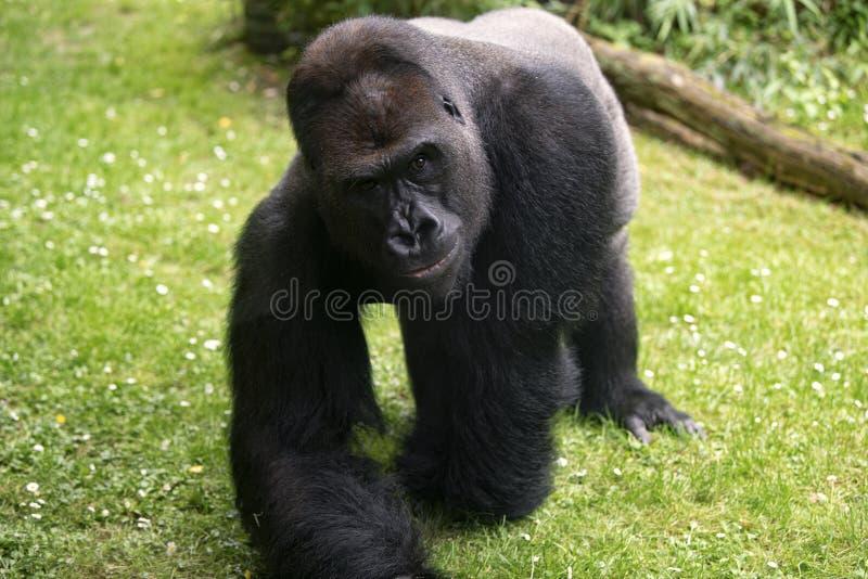 Fin de silverback de gorille prochaine, oeil exceptionnel photographie stock libre de droits