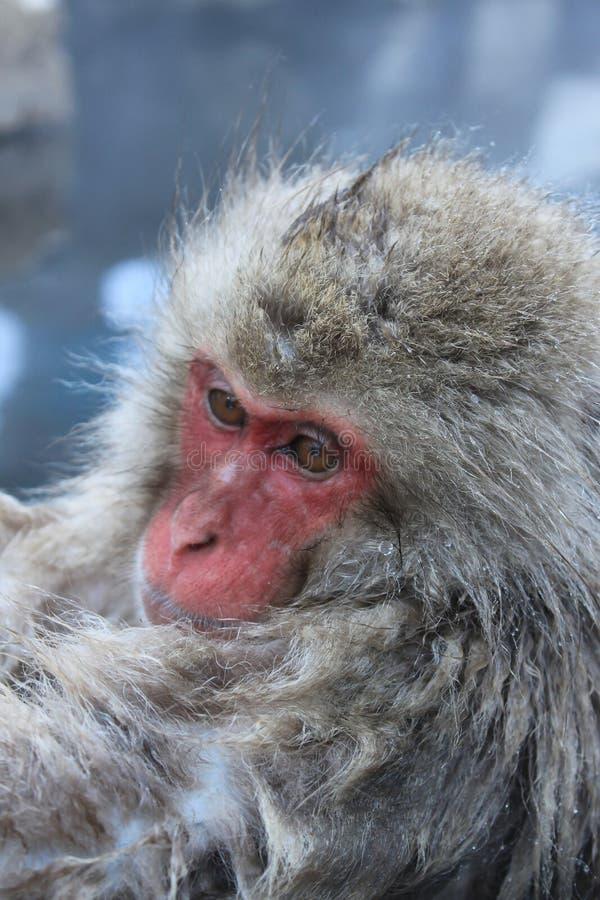 Fin de singe de neige  images stock