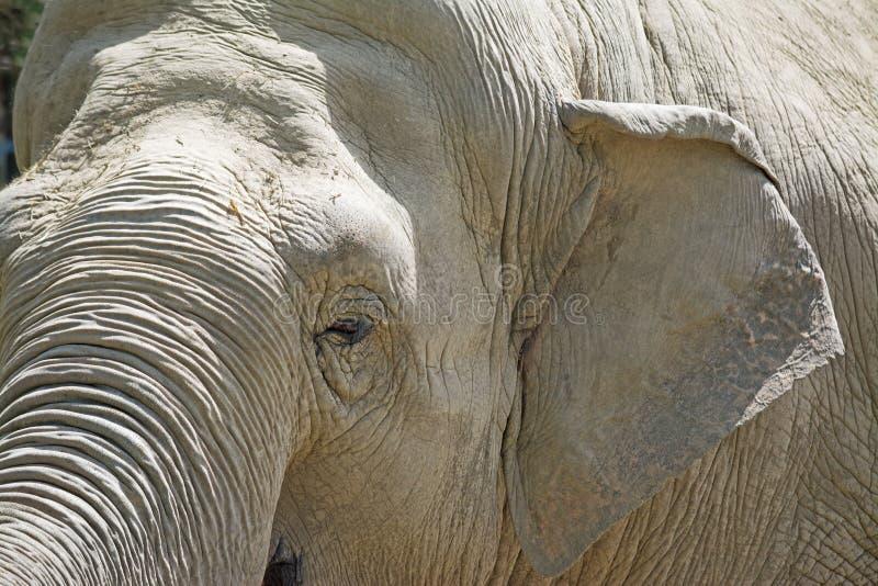 Fin de tête d'éléphant vers le haut photographie stock libre de droits