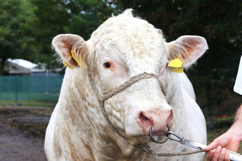 Fin de tête de vache laitière de Thoroughbered avec le propriétaire non identifié images stock