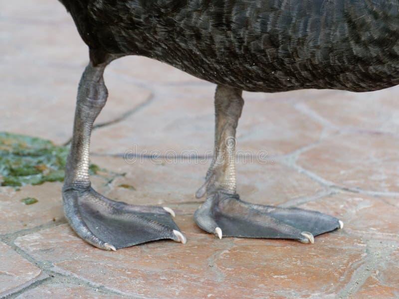 Fin de tir de pieds et de jambes de Web de cygne noir avec le poo dans une ferme photo libre de droits