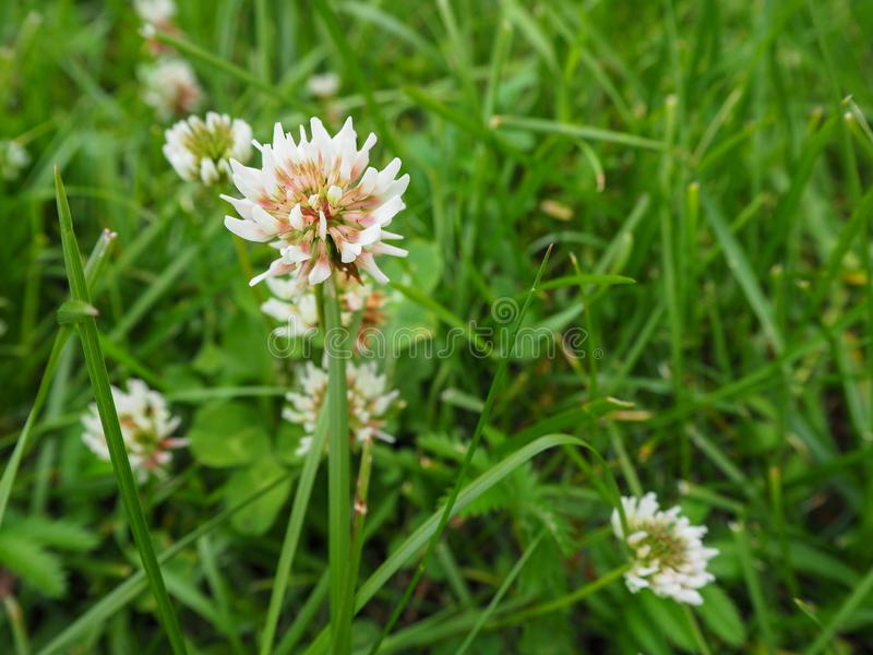 Fin de trifolium de fleur de tréfle blanc ou de minette sur le champ vert de trèfle images libres de droits