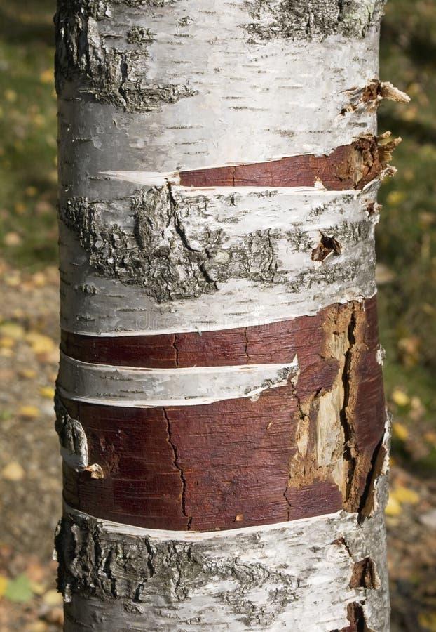 Fin de tronc de bouleau image stock image du trunk - Tronc bouleau ...