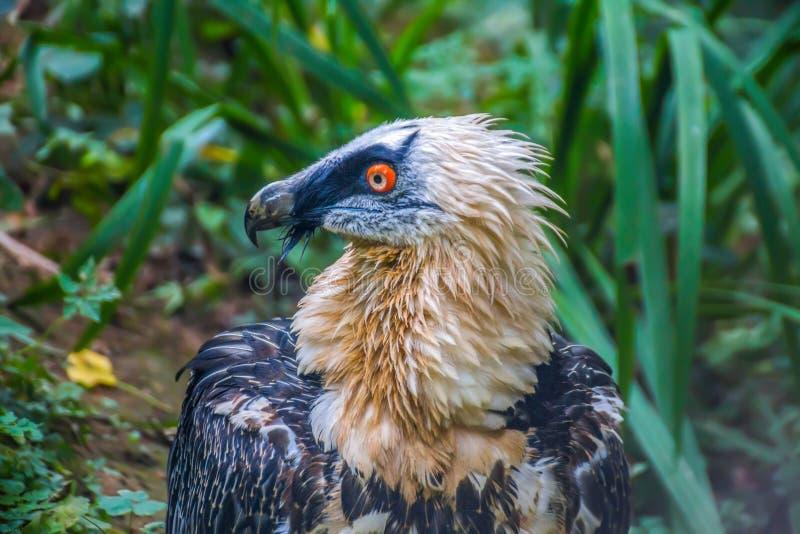 Fin de vautour barbu  photos stock