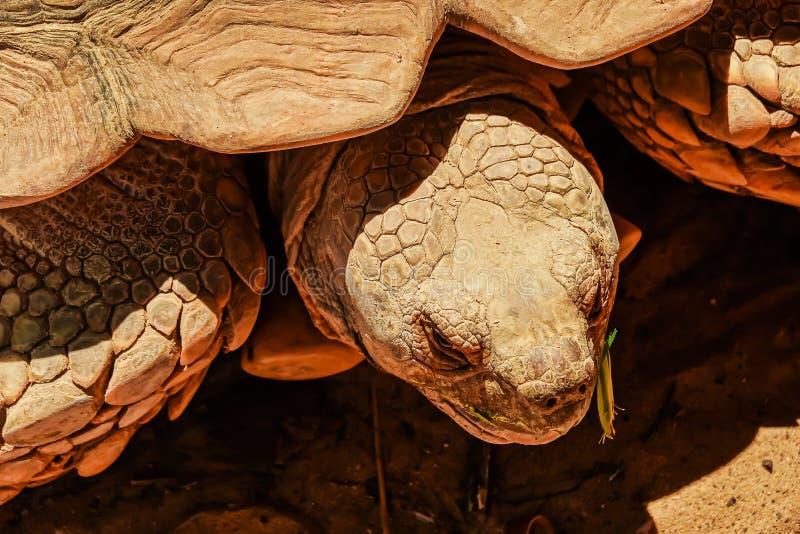 Fin de vue de face vers le haut de la tortue stimulée africaine se reposant dans le jardin sous la lumière chaude du soleil images libres de droits
