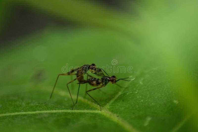 Fin de vue supérieure de reproduction de deux insectes sur les feuilles dans s images stock