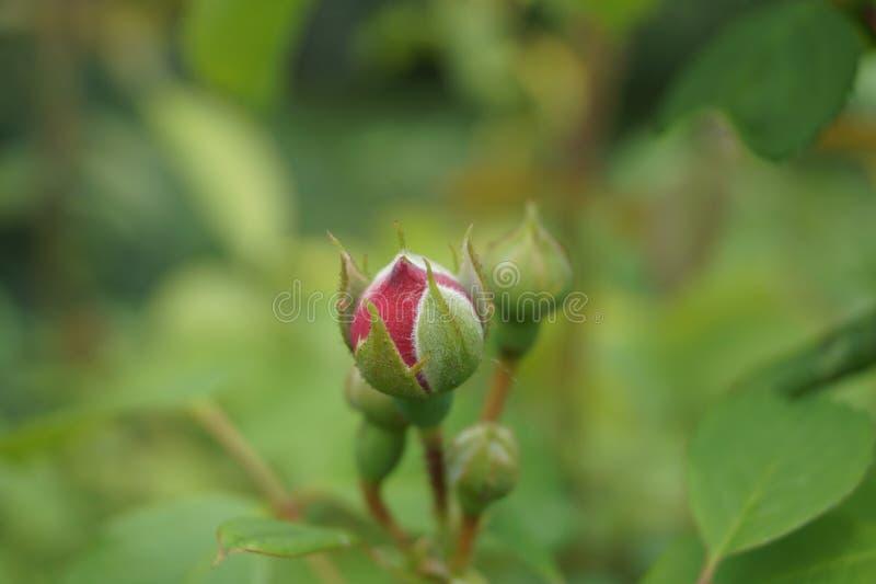 Fin douce de fond de Rosebud vers le haut de nature verte photographie stock libre de droits