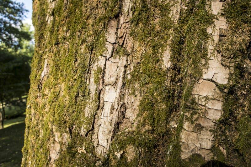 Fin extérieure de Forest Park de vieil de chêne d'écorce été moussu d'usine vers le haut de fond en bois de texture de détails de photos libres de droits
