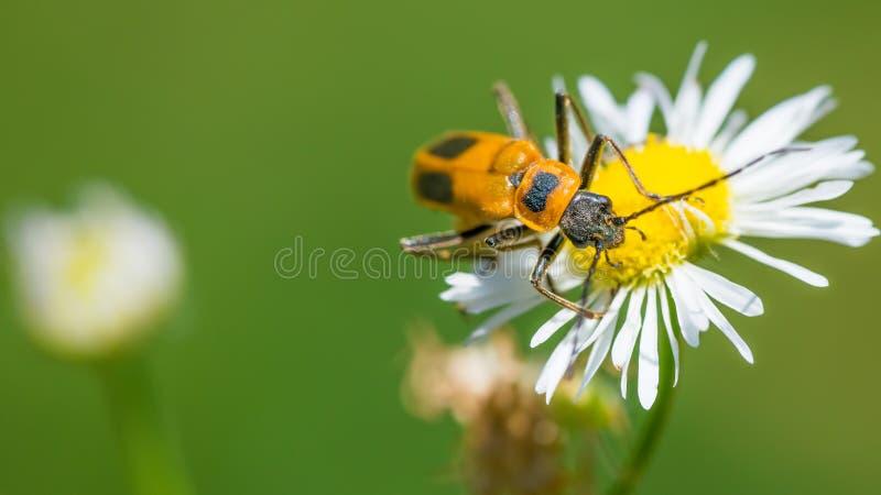 Fin extrême vers le haut de macro de scarabée doré de soldat - sur le wildflower en Theodore Wirth Park photos stock