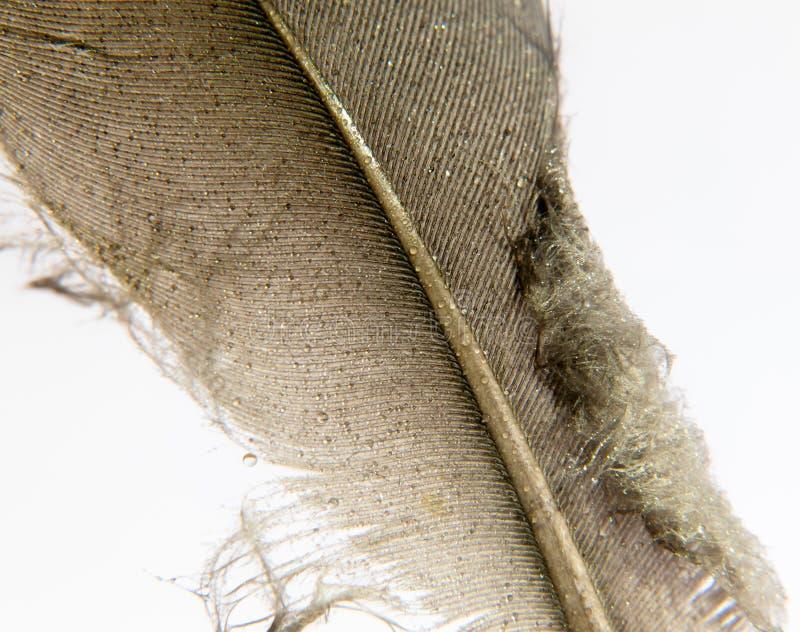 Fin grise et brune blanche et noire de plume de pigeon avec le wate photo libre de droits