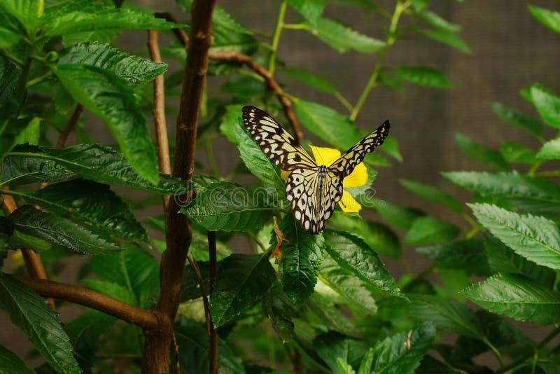 Fin haute de cerf-volant d'idée de papillon de papier simple de leuconoe se reposant sur une fleur jaune avec le fond vert de feu photographie stock