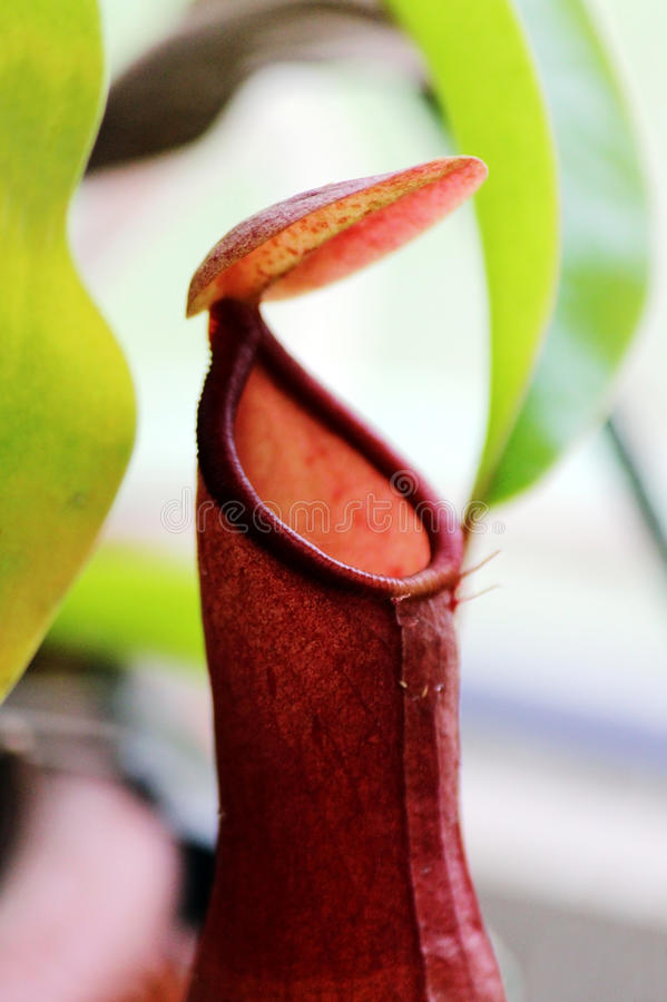 Fin insectivore d'Ampullaria de Nepenthes d'usines  image stock