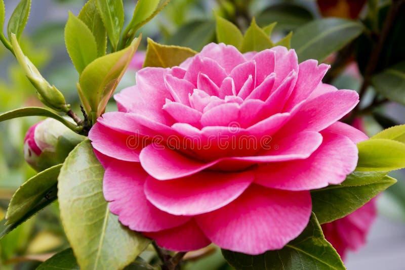 Fin japonaise rose de fleur de camélia  photographie stock